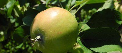 Preise. - Topaz-Apfel im Garten. Wiedmer, Christian: Beratung, Therapie, Wanderungen. Foto: Autor.
