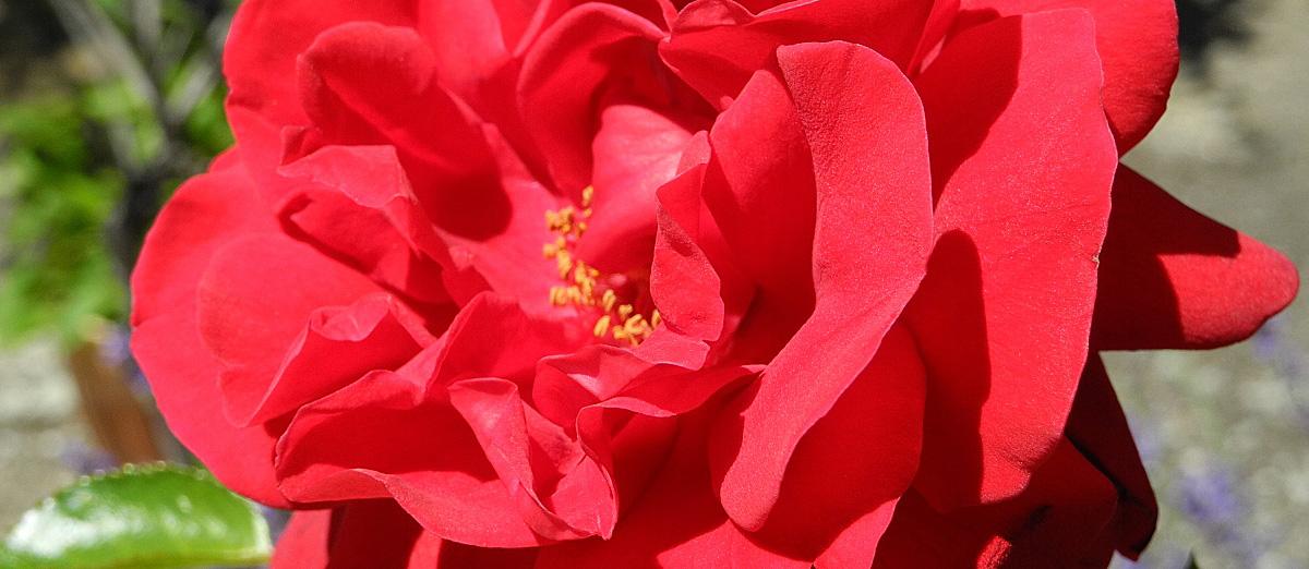 Rechts- und Datenschutzhinweise. - Rose Synphony im Garten. Wiedmer, Christian: Beratung, Therapie, Wanderungen. Foto: Autor.